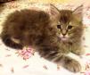 Продается котенок (девочка) мейн-кун маленькая