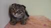 Продается котенок вислоухий маленькая