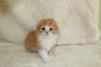 Продается котик хайленд-фолд маленькая