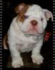 Продается щенок английского бульдога эксклюзивного окраса маленькая