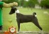 Продается щенок Басенджи маленькая