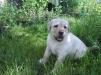Продается щенок лабрадора, окрас палевый маленькая