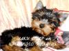 Продается щенок йоркширского терьера от Тайного Желания маленькая