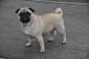 Продается собака Мопс-девочка, 3 года маленькая