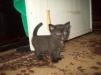 Продам котят британской породы маленькая