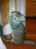 Продам очаровательных плюшевых Шотландских котят маленькая