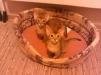Продам абиссинских котят маленькая