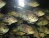 Продам аквариумных рыб оптом маленькая