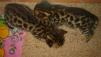 Продам бенгальских котят маленькая