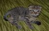 Продам британских котят маленькая