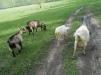 Продам дойную козу маленькая
