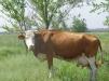 Продам корову маленькая