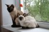 Продам котенка меконгского бобтейла маленькая