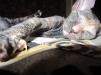 Продам котят петерболда маленькая