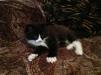 Продам котёнка вместе с лотком и наполнителем маленькая