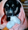 Продам щенка маленькая