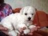 Продам щенка Бишона маленькая