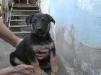 Продам щенка (девочка) Восточноевропейской овчарки маленькая