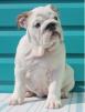 Продам щенков английского бульдога маленькая