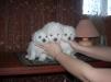 Продам щенков Болонеза маленькая