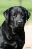 Продам щенков черного окраса (кобели) маленькая