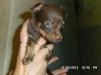 Продам щенков чихуахуа гладкошерстные месяц и неделя маленькая