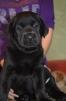 Продам щенков Лабрадора маленькая