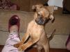 Продам щенков малого брабансона маленькая