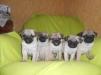 Продам щенков Мопса маленькая