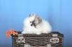 Продам.шпицы померанские,мишки маленькая