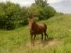 Продаётся лошадь маленькая