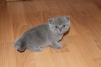 Продаю Британских котят маленькая