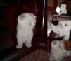 Продаю котят британских маленькая