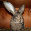 Продаю кроликов маленькая