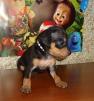 Продаю щенка маленькая