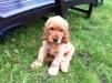 Продаю щенка английского кокер-спаниеля маленькая