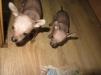 Продаю щенков китайской хохлатой маленькая