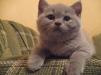 Продаются британские плюшевые котята маленькая