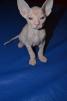 Продаются котята донского сфинкса маленькая