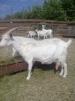 Продаются козы маленькая