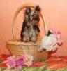 Продаются очаровательные щенки йоркширского терьера маленькая