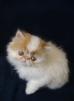 Продаются персидские котята маленькая