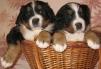 Продаются щенки бернского зенненхунда маленькая