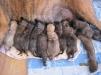 Продаются щенки Бульмастифа маленькая