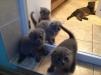 Продаются шотландские вислоухие котята маленькая