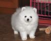 Продаются собачки миниатюрного померанского шпица маленькая