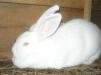Продажа крупных пород кроликов маленькая