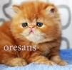 Продажа персидских котят маленькая