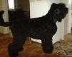 Русский черный терьер щенки маленькая