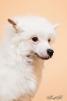 Щенки КХС (китайская голая собака) маленькая